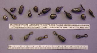 lead fishing weights from loon stomachs