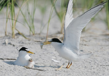A pair of least terns feeding a chick