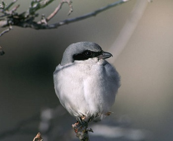 loggerhead shrike on branch