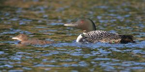 Photo of adult loon with young.
