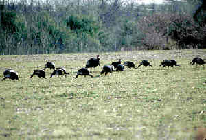 Picture of turkeys in a food plot