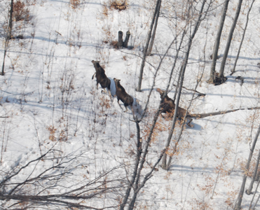 aerial image of several moose in open hardwoods