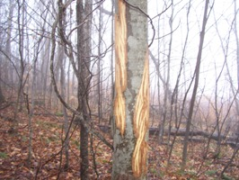 image of bark stripped from a sapling by a moose.