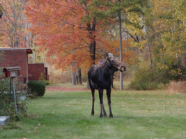 image of a moose in a residential area