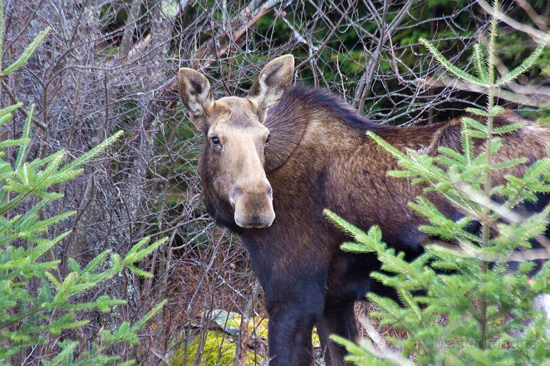 moose photo from Essex County, 2008