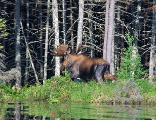 Image of a Bull Moose walking along a body of water in the grass and vegetation