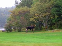 moose on golf course in Hamilton County, September 2008