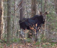 Herkimer County moose, 2006