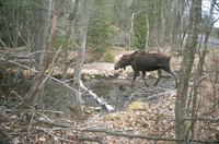 moose photo from Rensselaer County, New York, 2006