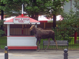 image of a moose at the Saratoga Race Track