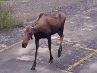 photo of moose in a Saratoga County parking lot