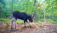 photo of moose scrapping the ground in Warren County, 2008