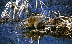 Muskrat in Marsh Habitat