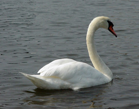 Picture of a mute swan swimming.