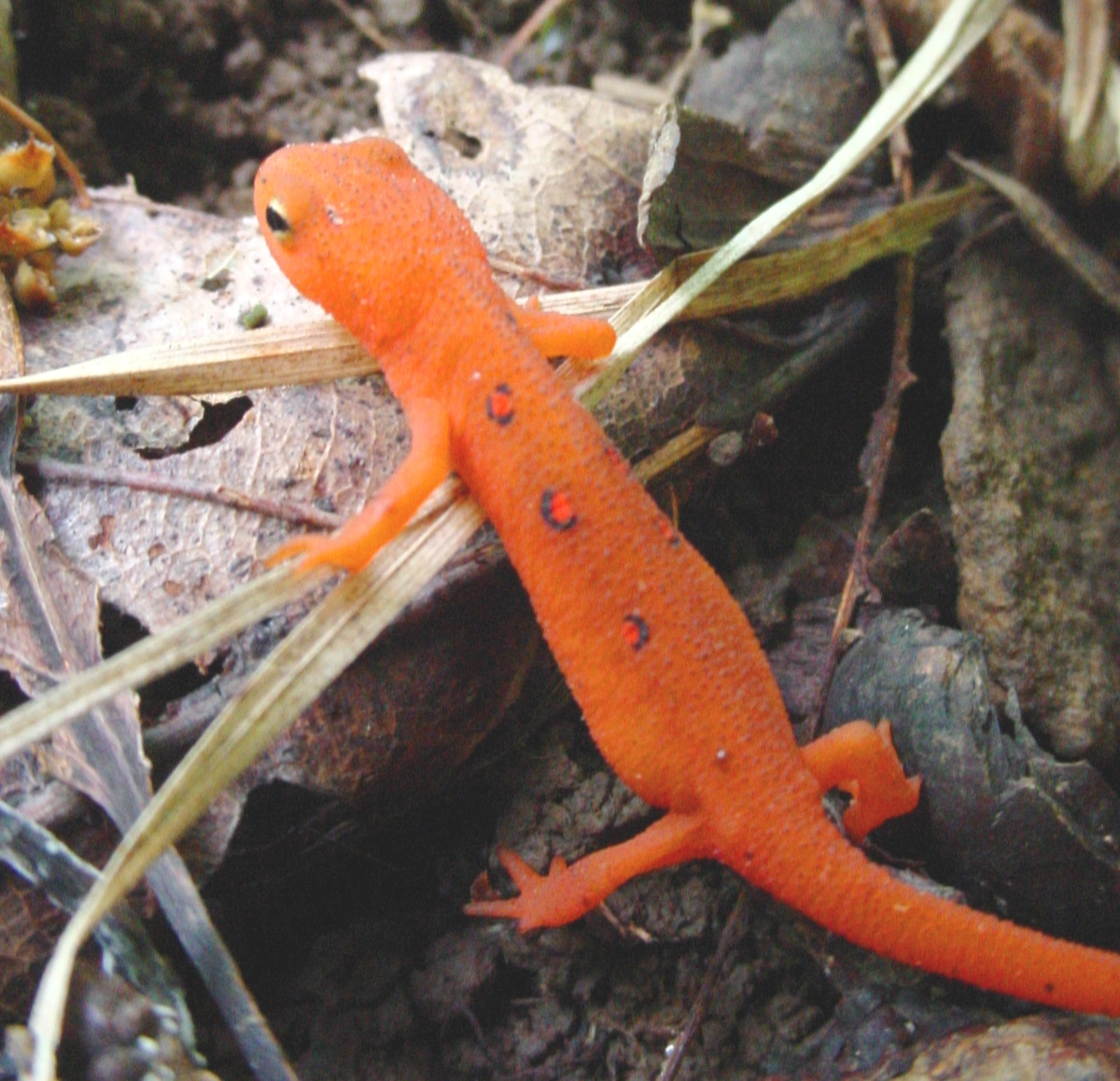 Eastern (Red-Spotted) Newt - Watchable Wildlife - NYS Dept