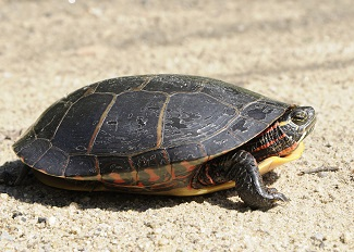 A midland painted turtle walking on the sand