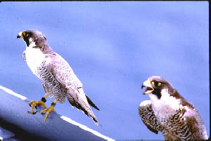 two peregrine falcons perched