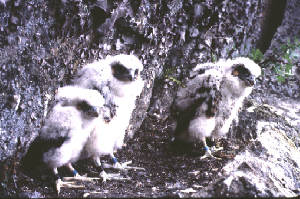 Image of three falcon chicks standing on the ground