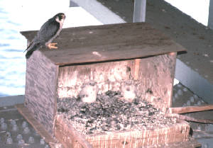 peregrine nest box on a bridge