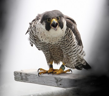 Peregrine Falcon Nys Dept Of Environmental Conservation