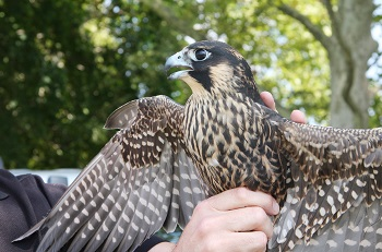 Peregrine Falcon Watchable Wildlife Nys Dept Of Environmental Conservation