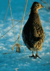 Ring-necked pheasant hen