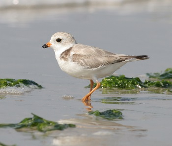 Piping plover walking through vegetation on a beach