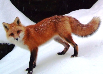 A red fox standing in the snow