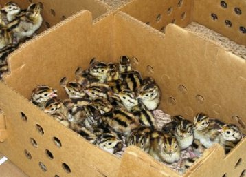 Day-old Pheasant Chicks in a wooden crate
