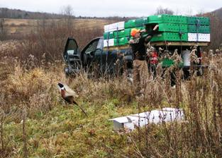 Ring-necked Pheasant Release Site