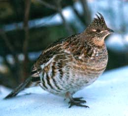 ruffed grouse on the snow