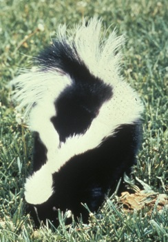 Striped Skunk NYS Dept of Environmental Conservation
