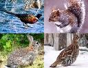 Small Game Species - Pheasant, Squirrel, Cottontail, Grouse