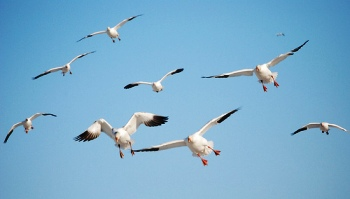 Snow geese in flight, M. Martin