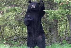 A black bear standing tall on its hind legs.
