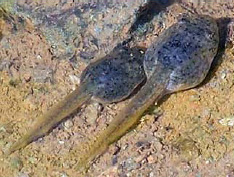 Photo of two bullfrog tadpoles on the bottom of a creek
