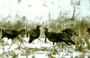 Picture of turkeys feeding on food plot in snow