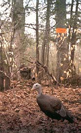 Turkey hunter with decoy and blaze orange
