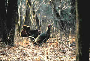 Picture of turkeys in a wooded setting