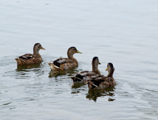 Four ducks floating on the pond