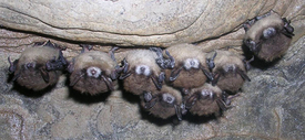 Image of eight bats with White-nose Syndrome in Hailes Cave