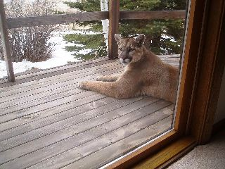 cougar resting on a porch in Wyoming